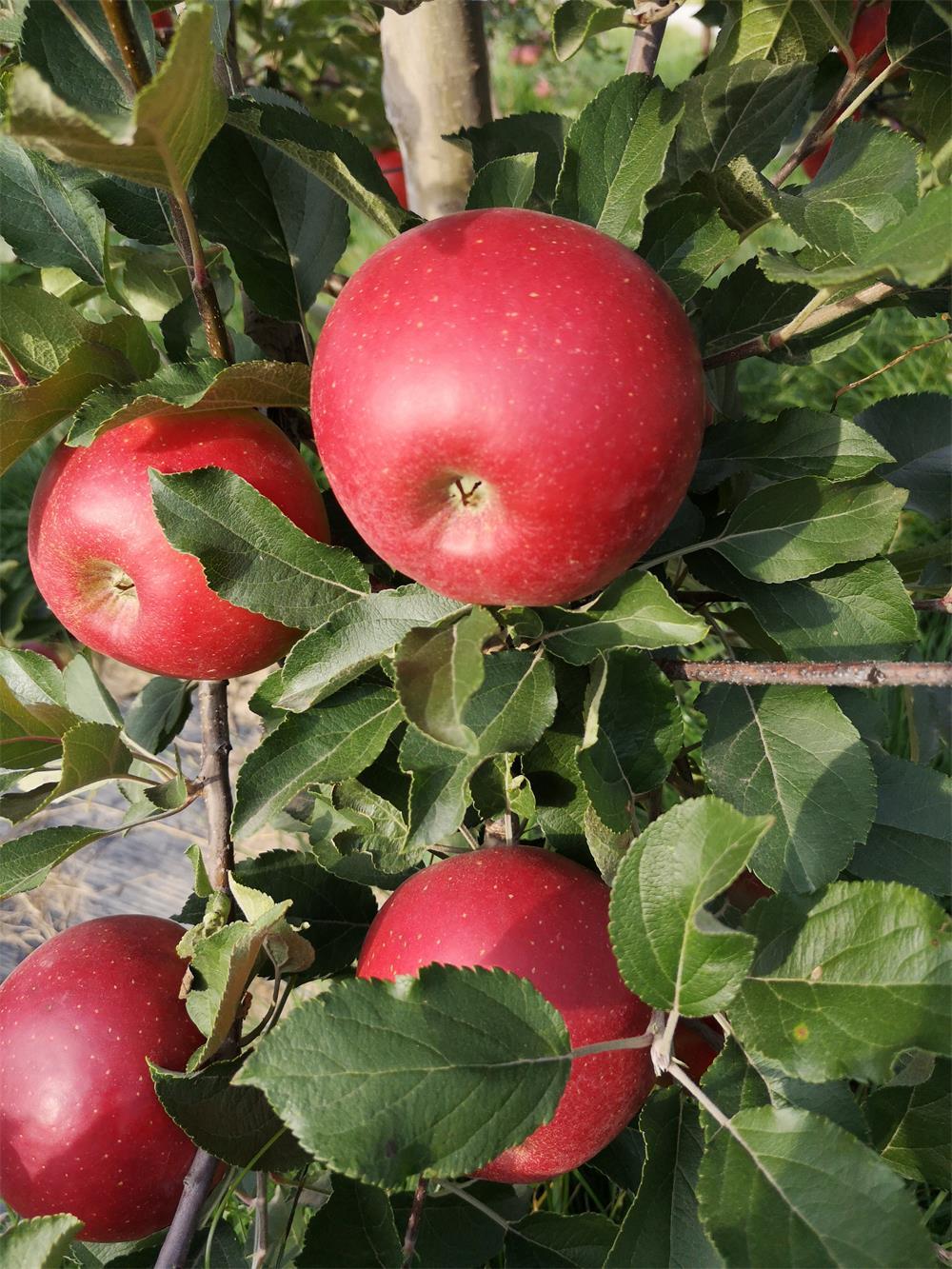 """山西芮城""""三宝""""之一:一枚可以实现梦想的苹果"""