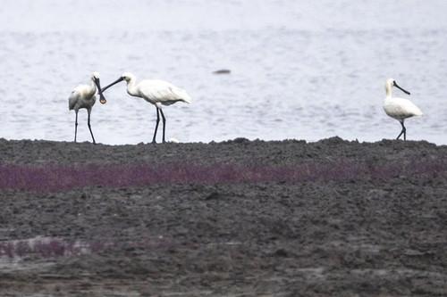 凌海大凌河口国家海洋公园首次现身罕见鸟类黑脸琵鹭(图)