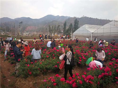云南姚安:玫瑰花产业映红乡村振兴致富路